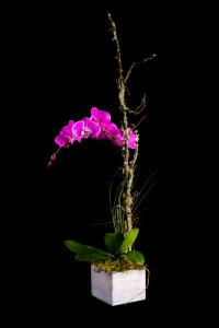 $75 Everlasting Orchid Plant