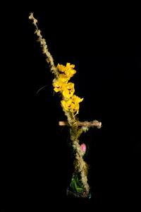 $75 Golden Orchids